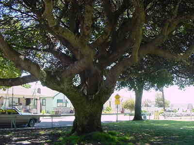 Big_oak_near_salem_05