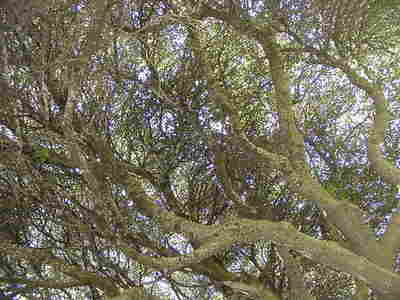 Big_oak_near_salem_06
