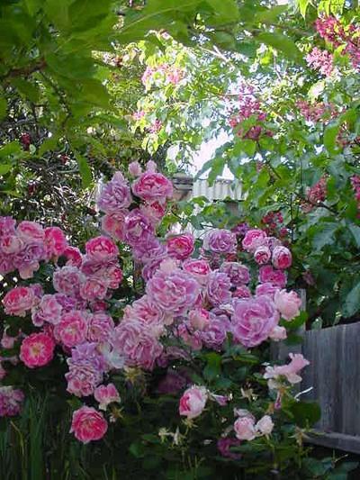 Pink_radiance_08_02_2