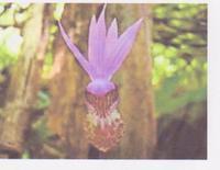 Calypso_orchid