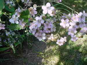 Blackberry_blossoms_2