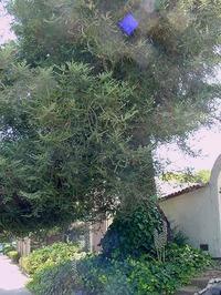 Redwood_2_adj